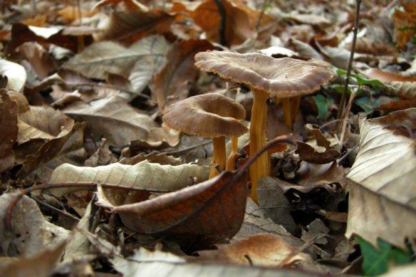 Quel est donc ce champignon ? – Saint Brevin les pins