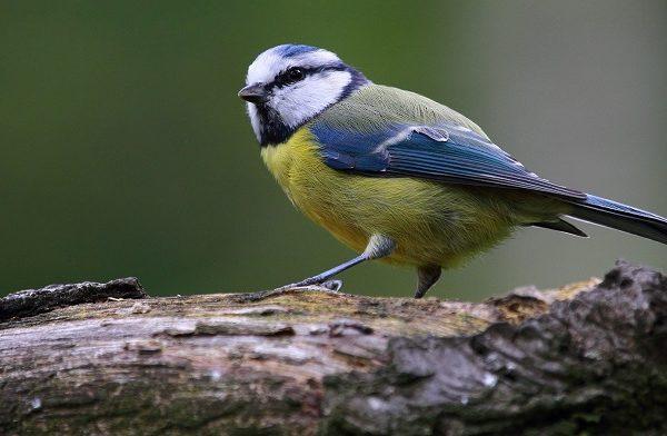 Pratique sur le terrain : Reconnaître les oiseaux par leurs chants