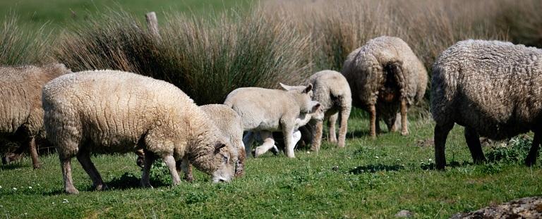 Plantes et moutons – Pornic